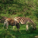 Zebra, Buyskop Lodge